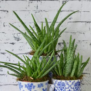 Scentsational Flowers - Aloe Vera Plant in Pot
