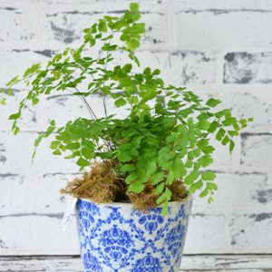 Scentsational Flowers Croydon - But Small Indoor Plants - Maidenhair Fern in Pot
