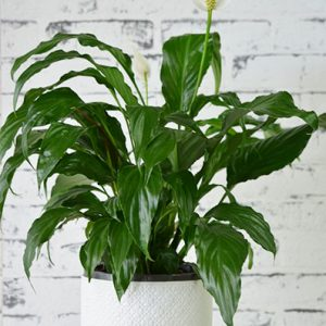Scentsational Flowers Croydon - Buy Medium Indoor Plants - Peace Lily in White Ceramic Pot
