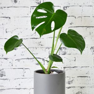 Scentsational Flowers - Monstera Plant in Charcoal Pot