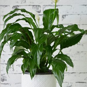 Scentsational Flowers - Peace Lily in White Ceramic Pot