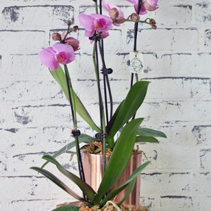 Scentsational Flowers - Phalaenopsis Orchids - Large