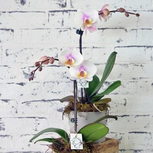 Scentsational Flowers - Phalaenopsis Orchids - Medium