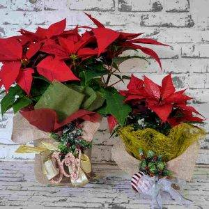 Scentsational flowers PoinsettiaChristmas Wrap