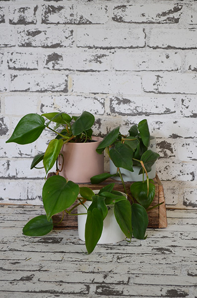 Scentsational Flowers - Philodendron in Pastel Pots